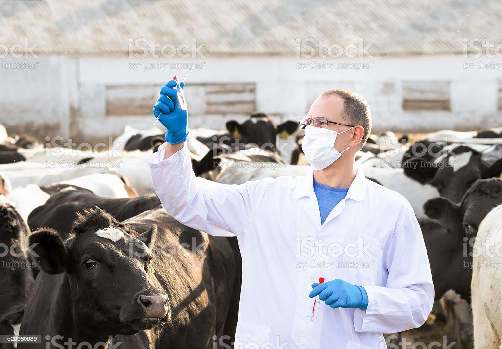 veterinarian at  farm cattle stock photo