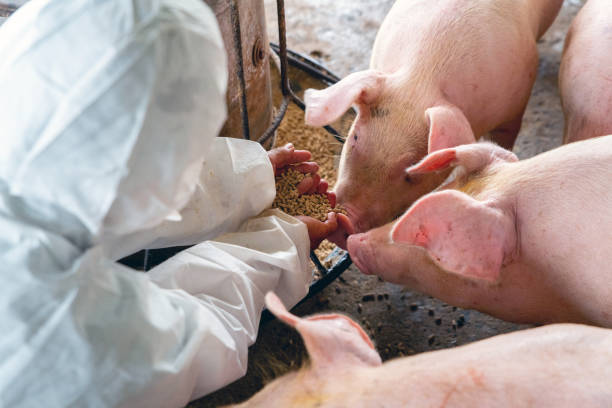 PIG FARM, Veterinarian At Work PIG FARM, Veterinarian At Work herbivorous stock pictures, royalty-free photos & images