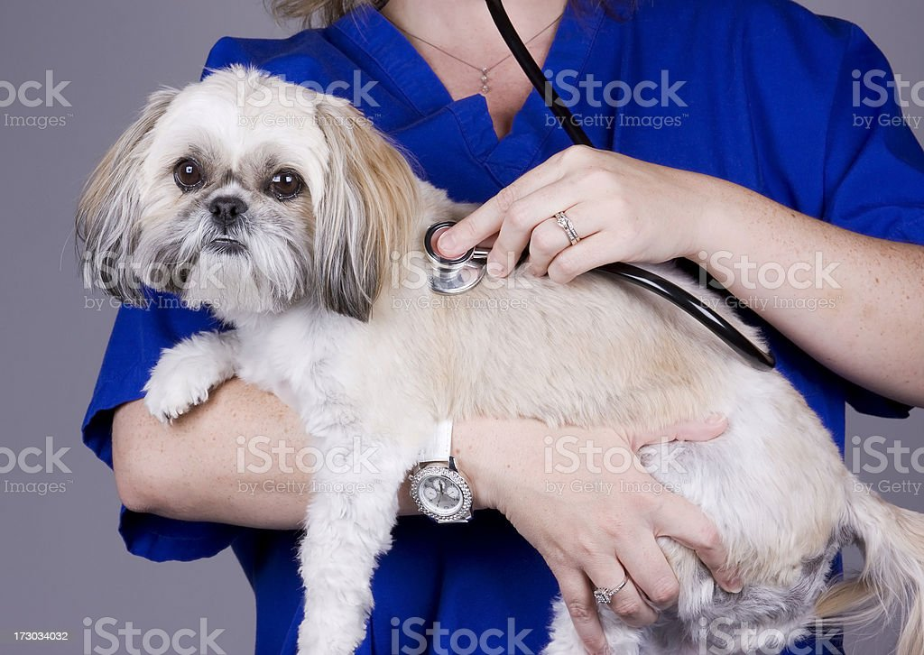 Veterinarian Checking a Puppy royalty-free stock photo