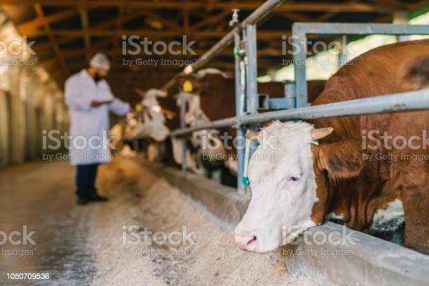 Veterinarian checking cows at cow farm picture id1050709536?b=1&k=6&m=1050709536&s=612x612&h=72w2l2yjroawykctu w8wg38rgvcb4hn7pmacq7nemy=