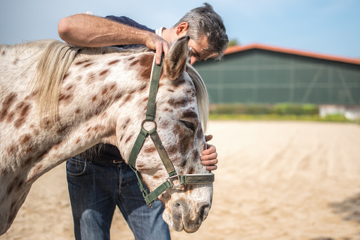 veterinarian checking health of spotted horse on paddock