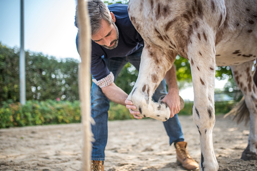 veterinarian checking leg of spotted horse on paddock