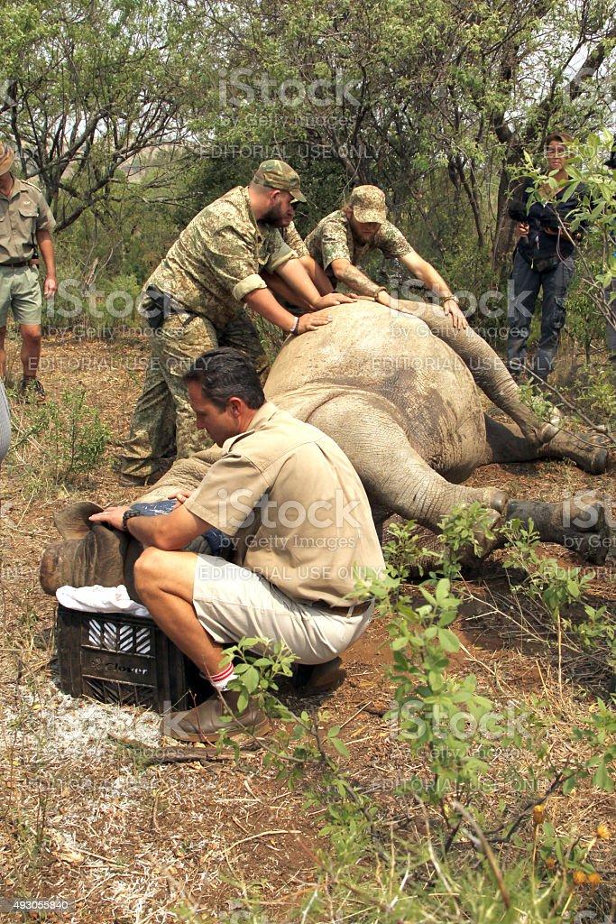 Veterinarian checking on condition of darted rhino. stock photo