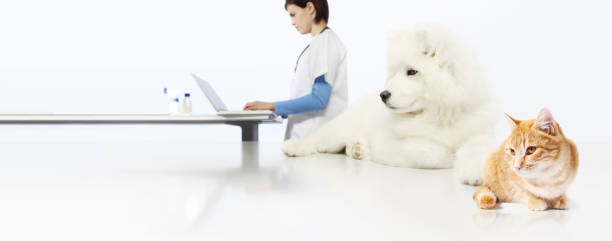 concetto di veterinario. medico veterinario, cane e gatto in ufficio veterinario isolato su sfondo striscione bianco bianco - china drug foto e immagini stock