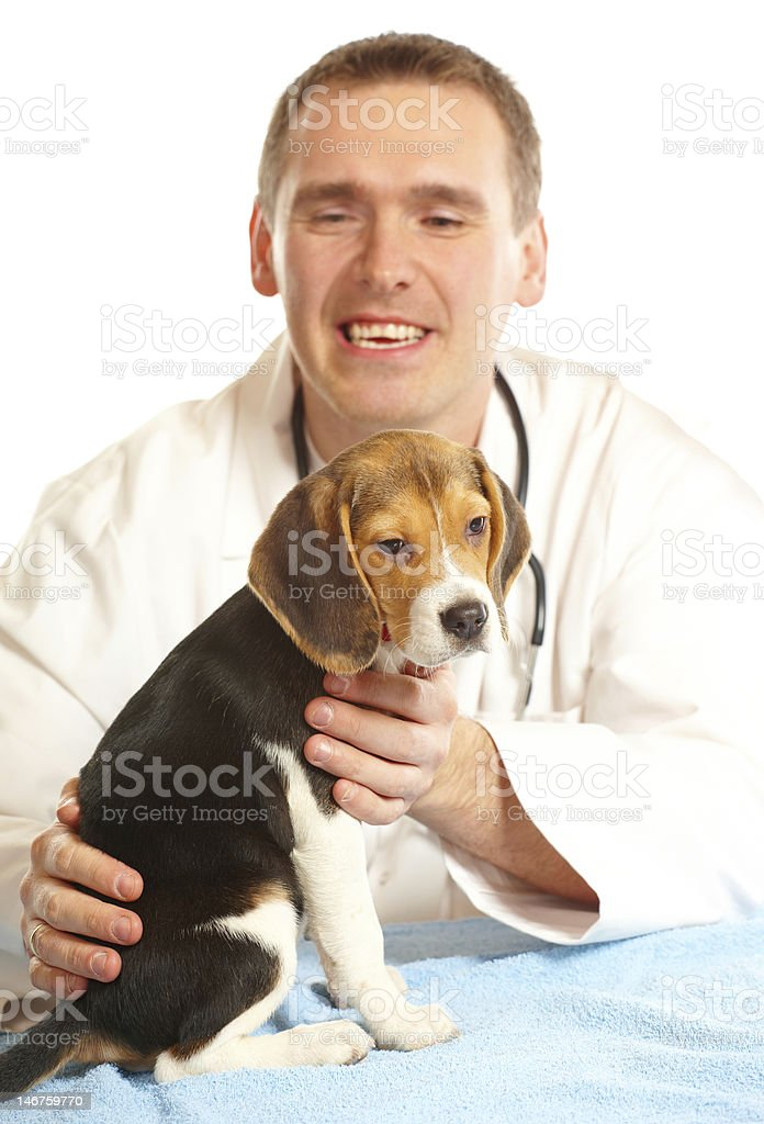 Veterinarian doctor and a beagle puppy royalty-free stock photo