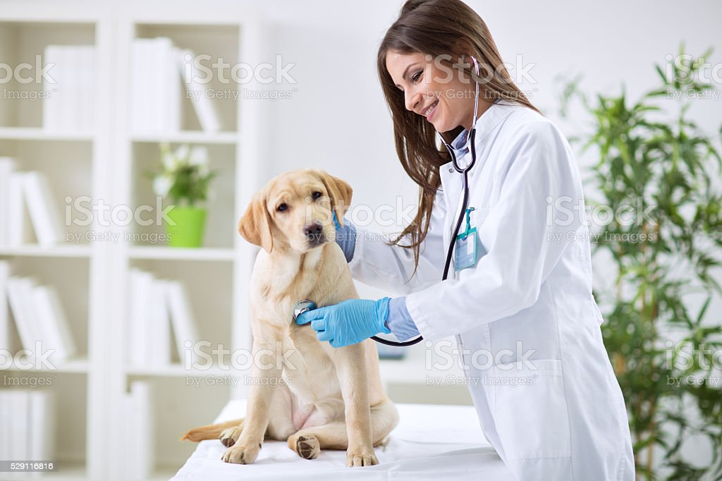 Veterinarian doctor and a labrador puppy Veterinarian doctor and a labrador puppy at vet ambulance Adult Stock Photo