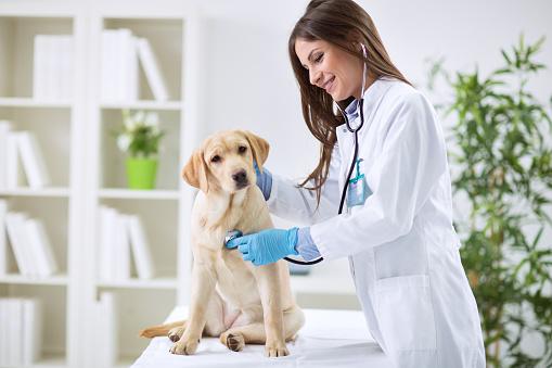 Veterinarian Doctor And A Labrador Puppy 照片檔及更多 人 照片