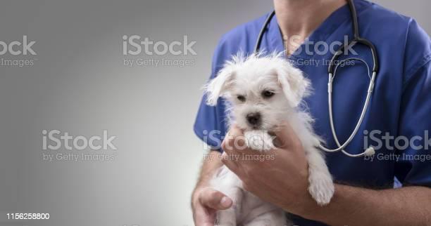 Veterinarian doctor examining a maltese puppy picture id1156258800?b=1&k=6&m=1156258800&s=612x612&h=60q6oz upmamabdhtvpxienlobnfbscrox3yy5yhnym=