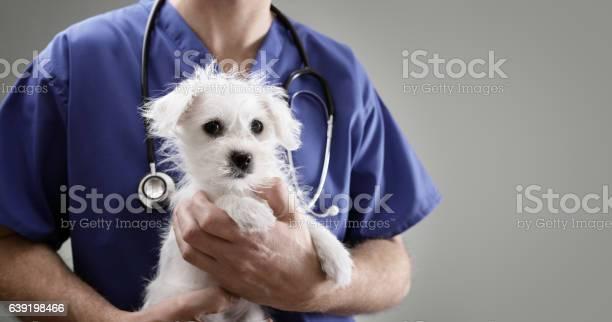 Veterinarian doctor examining a maltese puppy picture id639198466?b=1&k=6&m=639198466&s=612x612&h=m6d3 m3vk glq47mpipjyup98yfxl 2hg6huthshvx0=