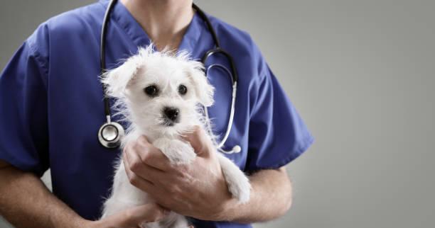 Veterinarian doctor examining a maltese puppy picture id639198466?b=1&k=6&m=639198466&s=612x612&w=0&h=zp8aj d9dzywxlhysvxdjrnuv7pjycnsug1hznd7lmo=