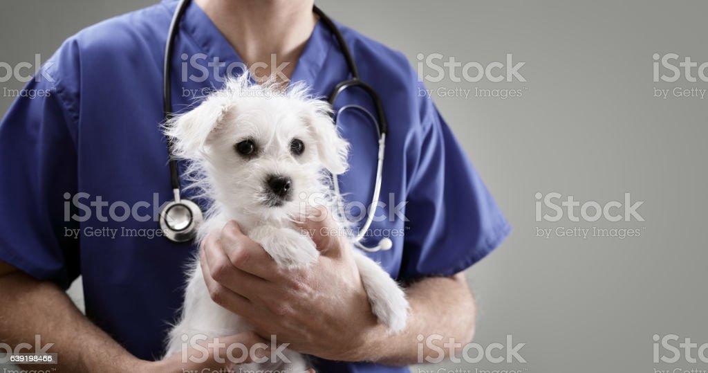 Veterinarian doctor examining a Maltese puppy - foto de stock