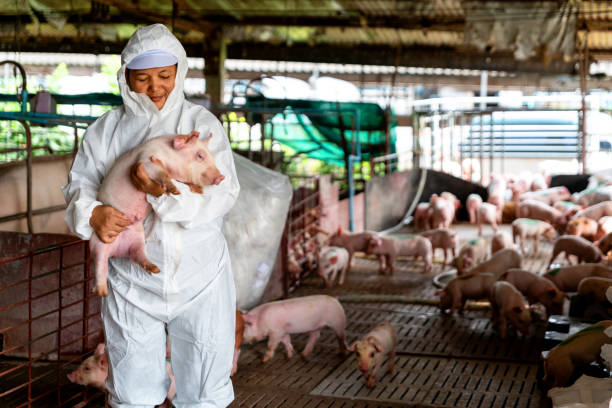 pig farm, working in pig farm, veterinarian doctor examining pigs at a pig farm - maiale ungulato foto e immagini stock