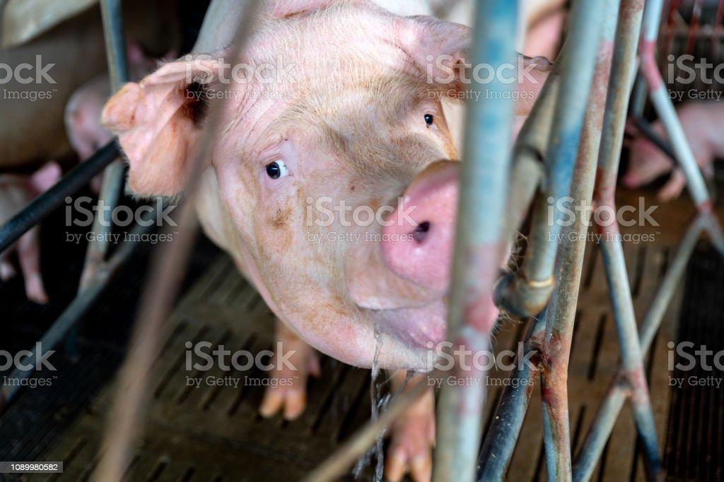 FARM, Veterinarian Doctor Examining Pigs at a Pig Farm