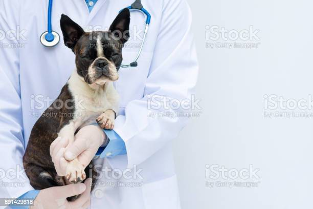 Veterinarian doctor holding and examining a boston terrier puppy picture id891429618?b=1&k=6&m=891429618&s=612x612&h=ayrzh3kls86tf2fy ug9lnmcecqrbfxsey29cohse5u=