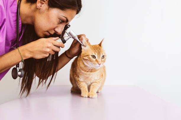 Veterinarian doctor is making a check up of a cute beautiful cat. stock photo