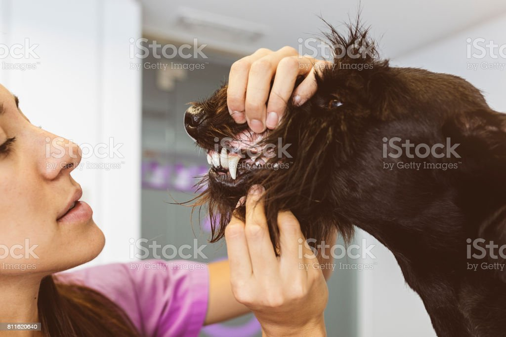 Veterinarian doctor is making a check up of a cute beautiful dog. stock photo