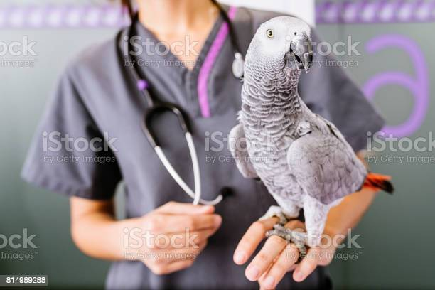 Veterinarian doctor is making a check up of a parrot picture id814989288?b=1&k=6&m=814989288&s=612x612&h=dzcqekad5etoyua5w3vxt3td3hgzwsie60hwfcopqok=