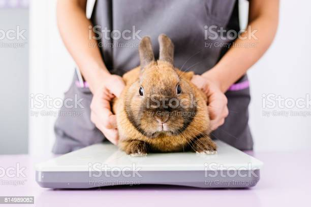 Veterinarian doctor is making a check up of a rabbit picture id814989082?b=1&k=6&m=814989082&s=612x612&h=63f762uvucajldshk064don3hi8fj0innbw ohb pmy=
