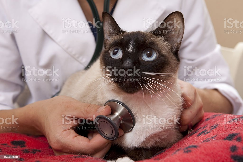Veterinarian Examines a Siamese Cat Close Up royalty-free stock photo