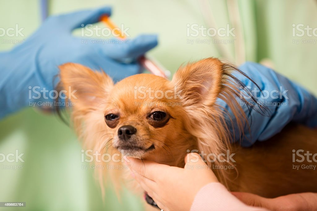 Veterinarian examines Chihuahua dog as pet owner consoles her.  Vaccinations. stock photo