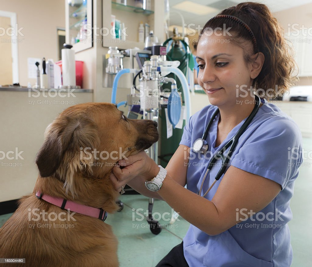 Veterinarian Examines Golden Retriever Mix in Animal Hospital royalty-free stock photo
