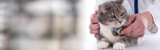 Veterinarian examining a cat picture id693363732?b=1&k=6&m=693363732&s=612x612&w=0&h=hfspojr9cscdx0x b4bpfjmyjfteuqyxsfsugaknfck=
