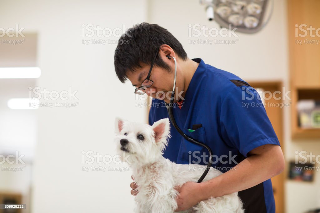獣医師の診療所に聴診器で犬を調べる ストックフォト