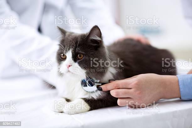 Veterinarian examining a kitten picture id529427452?b=1&k=6&m=529427452&s=612x612&h=leadjckldvqjaaug8e4tcamcmgc idyn2hi7cuhp ea=