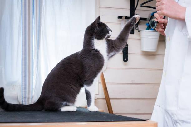Veterinarian examining cat picture id1078612458?b=1&k=6&m=1078612458&s=612x612&w=0&h=1fiqu1okyzoxcsxkrbo3vsfzhwy guu vpd7ompxwno=