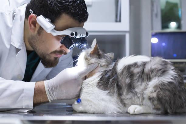 Veterinarian examining cat with sore eye picture id694028910?b=1&k=6&m=694028910&s=612x612&w=0&h=7ka82drfqcjyi2huc4uwnsdehs9wljzdquddruxs9 m=