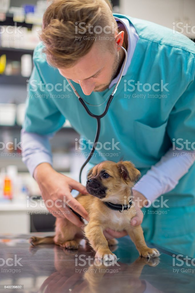 Veterinarian examining cute puppy stock photo