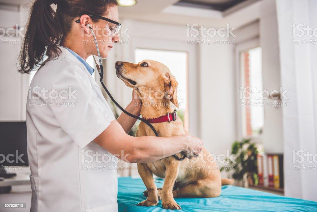 Veterinario examinando perro - foto de stock