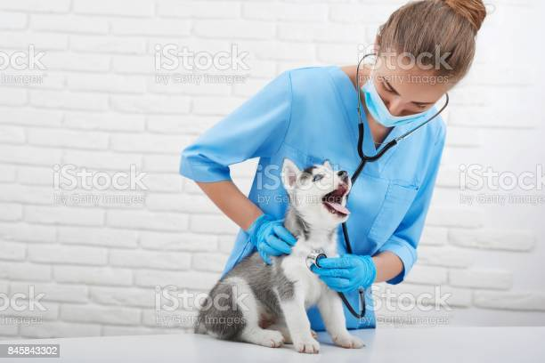 Veterinarian examining little husky puppy picture id845843302?b=1&k=6&m=845843302&s=612x612&h=pli6lcp3j7yyq70tn1dqnqz5 7hplv3mc0zrf jtzk4=