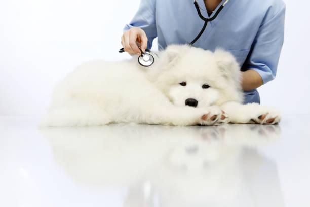 veterinario che esamina cane da compagnia sul tavolo nella clinica veterinaria - china drug foto e immagini stock