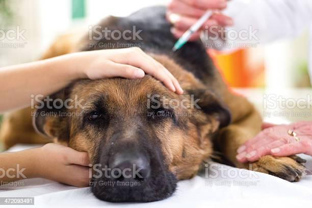 Veterinarian giving a sick german shepherd a vaccine picture id472093491?b=1&k=6&m=472093491&s=612x612&h=ts810e38dc6rdufbixvot9f4b  k1ycel0ikz3psqkq=