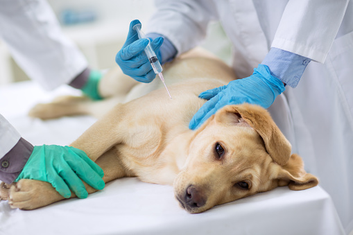 Veterinarian Giving Injection To A Dog Stock Photo - Download Image Now