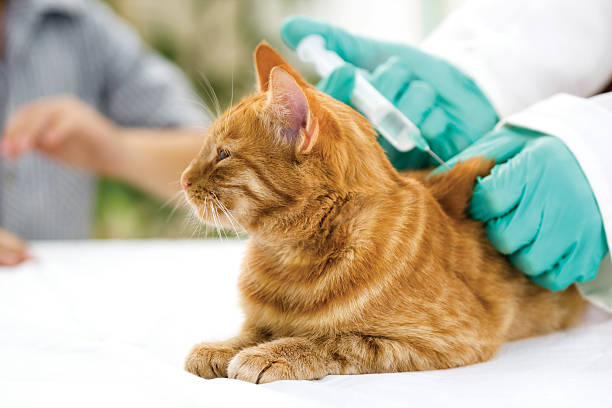 Veterinarian giving injection to a little cat picture id455695827?b=1&k=6&m=455695827&s=612x612&w=0&h=c8h0ahzhljtiaxunkl72hy5h4keniaymraqfod6crya=