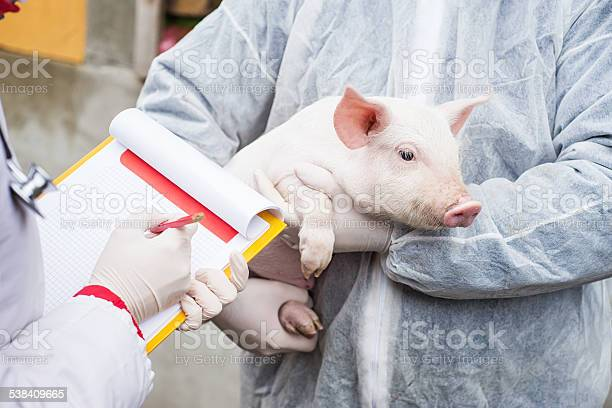 Veterinarian holding a pig while nurse working trial picture id538409665?b=1&k=6&m=538409665&s=612x612&h=onfnqsznflkv5y7 oo6 cenl2dxgt5rn0lk01fgobrc=