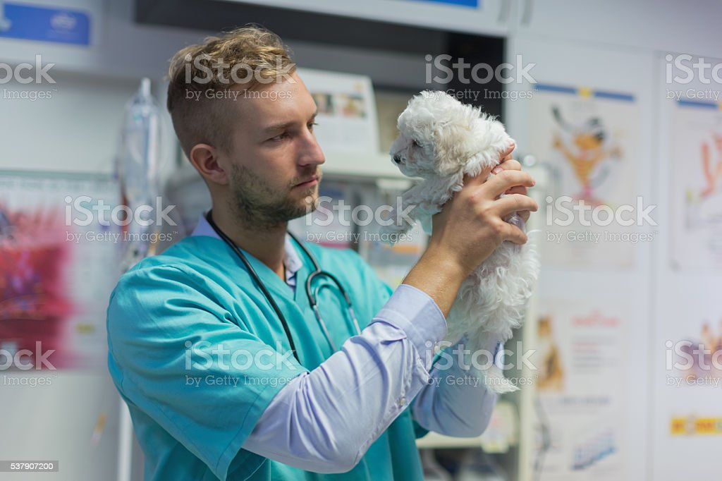Veterinarian holding bichon puppy stock photo