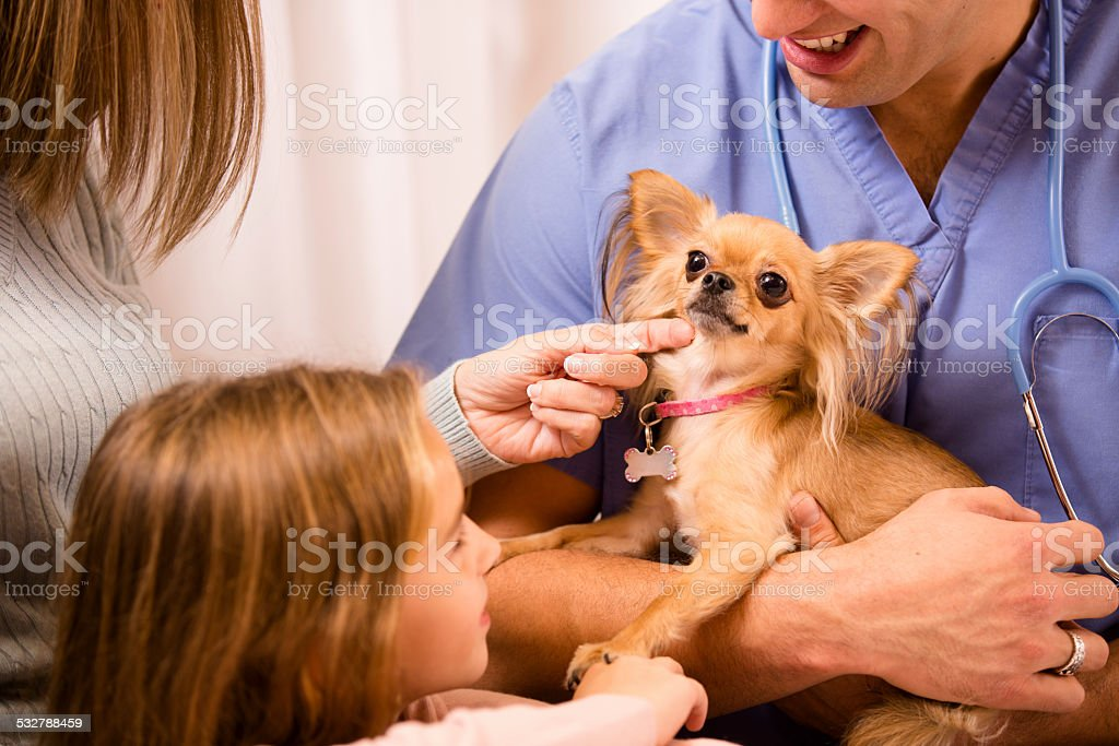 Veterinarian holds Chihuahua dog. Pet owners looking on. Clinic. stock photo