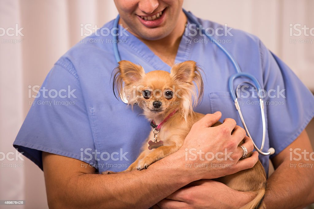 Veterinarian holds, examines Chihuahua dog in clinic office. stock photo