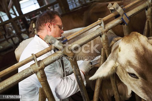 Close up of a syringe veterinarina is holding to vaccinate a cow in a barn.