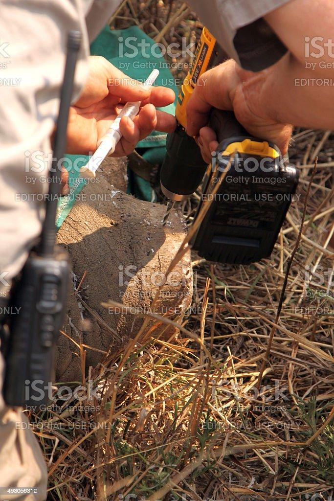 Veterinarian inserting new microchip into remainder of rhinos h stock photo