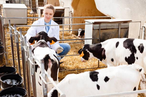 Veterinário, inspecionando os bezerros em fazenda de gado leiteiro - foto de acervo