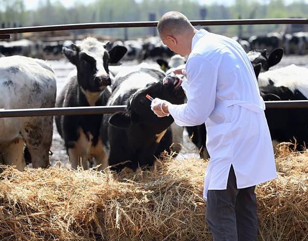 Vaca veterinario macho - foto de stock