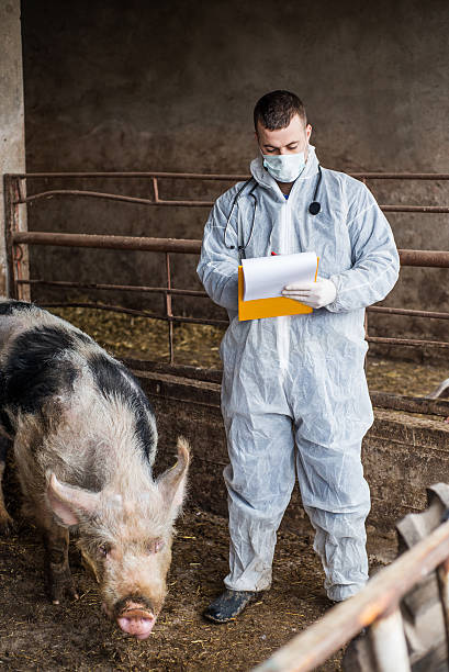Veterinarian inspects and controlling a pig picture id538446627?b=1&k=6&m=538446627&s=612x612&w=0&h=nxzvfdv1tplqmw 0ast3fl5ctlhmdefiee1cz 1s9m4=