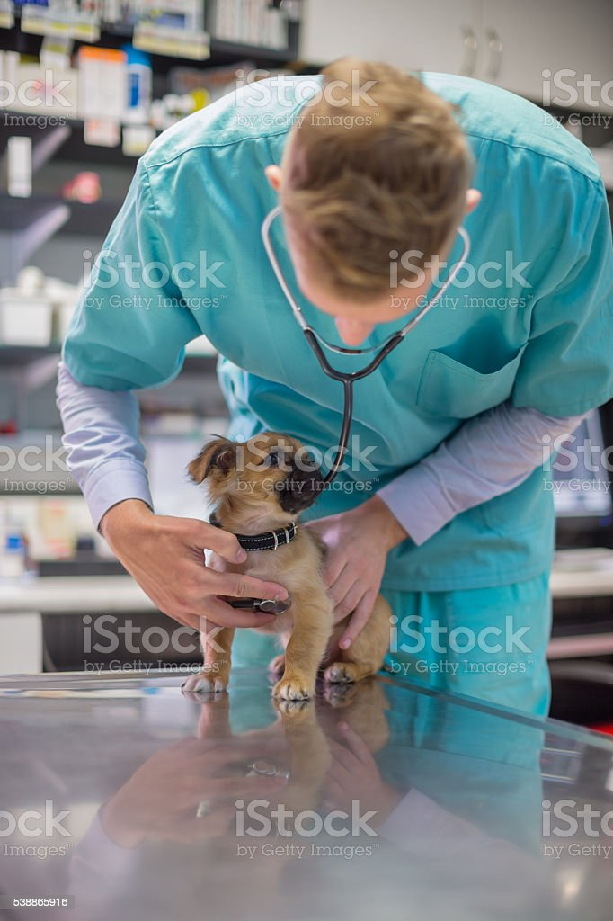 Veterinarian listening to puppies heartbeats stock photo