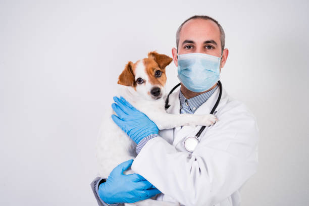 veterinarian man working on clinic with cute small jack russell dog. Wearing protective gloves and mask during quarantine. Using stethoscope.Pets healthcare stock photo
