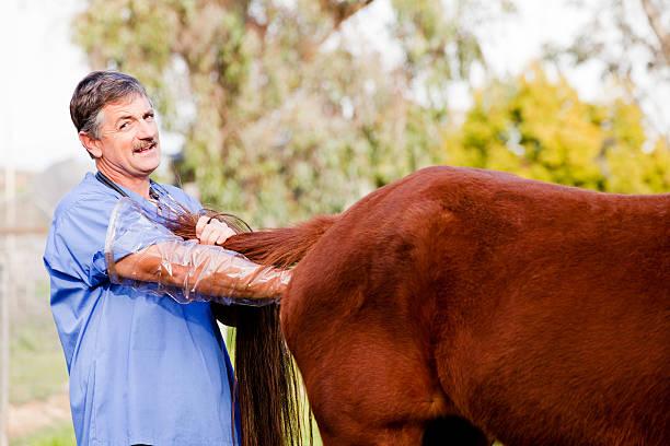 Veterinario realizar el examen interno en un caballo - foto de stock
