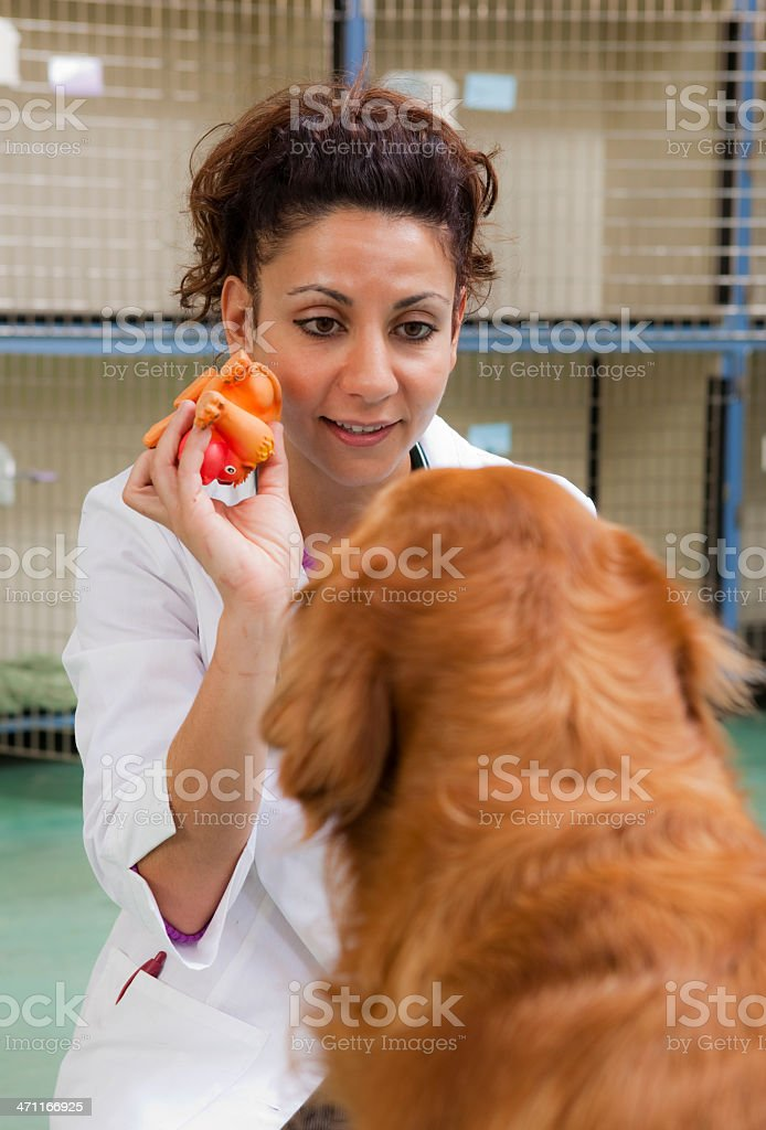 Veterinarian Plays with Golden Retriever royalty-free stock photo